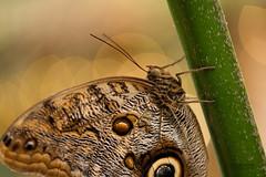 Vlinder (niekjuurlink) Tags: paars macro vlinder vlinders kleur groen fujifilm xt2 80mm fujinon f28 dier dieren natuur animal animals
