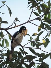 Le Calao Bicorne (Carosse C) Tags: calao bicorne bird oiseau thailand khao leam
