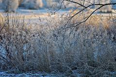 Frost (Stefano Rugolo) Tags: stefanorugolo pentax k5 pentaxk5 kmount smcpentaxm100mmf28 ricohimaging frost landscape countryside branches tree bush hälsingland sweden sverige manualfocuslens manualfocus manual vintagelens happynewyear 2019