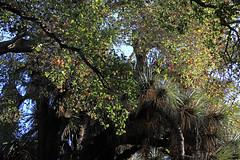 Tangled Trees (JB by the Sea) Tags: paloalto stanforduniversity stanford california cantorcenterforvisualarts november2018 tree trees