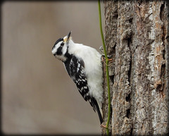 DSCN3772 (DianeBerky19) Tags: coolpixp1000 nikon bird woodpecker downywoodpecker