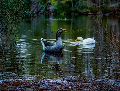 """Be like a duck, paddling and working very hard inside the water, but what everyone sees is a smiling and calm face."" Manoj Arora, From the Rat Race to Financial Freedom .  __________________________ f/5.6  ISO: 400 1/30 sec 72mm // @canon EOS Rebel T5 @c (jamessmithsonphotography) Tags: serenity creativeoptic worldisgreat bevisuallyinspired earthfocus naturephotography agameoftones birdwatching swimming awesomeearth digitalphotography beautifulday tonekillers houseoftones exploretocreate explore nature ducks water jamessmithsonphotography adventure vibesofvisuals optoutside becreative earthpix creativecontentbuilders"