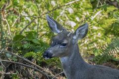 Young black-tailed deer (lamoustique) Tags: odocoileushemionus blacktaileddeer cerfàqueuenoire salmoncreek vancouver washington usa muledeer