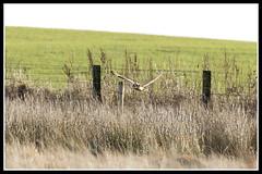 IMG_0113 Short-eared Owl (Scotchjohnnie) Tags: shortearedowl asioflammeus owl ornithology bird birdphotography birdwatching birdofprey birdinflight ukbirds wildanimal wildlife wildlifephotography wildandfree nature naturephotography canon canoneos canon7dmkii canonef100400f4556lisiiusm scotchjohnnie