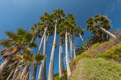 Laguna Beach (Emi Dragoi) Tags: lagunabeach california trees tree palm
