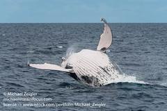 Breaching Humpback Whale (Michael Zeigler) Tags: haapaigroup humpbackwhale whale oceania breach tonga mammal kingdomoftonga megapteranovaeangliae baleen islands nature sea wildlife