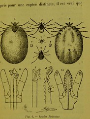 This image is taken from Page 31 of Les acariens parasites [electronic resource] (Medical Heritage Library, Inc.) Tags: acari arachnid vectors wellcomelibrary ukmhl medicalheritagelibrary europeanlibraries date1892 idb20406186