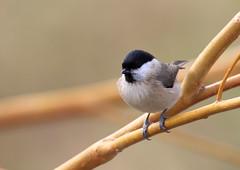 Mésange nonnette (Michel Idre - 8 millions de vues merci) Tags: oiseau bird aves ariège mésangenonnette