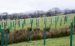 Tree planting below Pendle Hill.