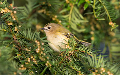 Goldcrest (kevinclarke1969) Tags: goldcrest bird yew tree rufford country park notts