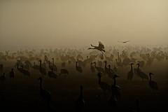 Agamon Hula (Hemo Kerem) Tags: israel agamonhula agamon ahula a7rm2 a7rii nikon200mmf4ai nikkor200mmf4ai ai200mmf4 ai4200 200mm manualfocus mf nikon nikkor sony sonya7rm2 ilce7rm2 alpha fog dawn sunrise lake water birds cranes