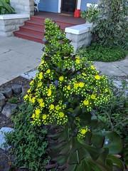 IMG_20190316_160446 (joeginder) Tags: jrglongbeach garden linden aeonium