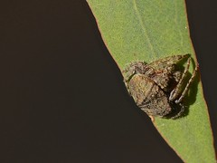 Spider (Rodger1943) Tags: spiders australianspiders fz200 canon500d