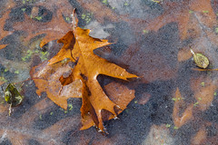 Lapham Delafield Segments Ice Age Trail-29.jpg (NetAgra) Tags: kettlepond waukeshacounty frosty orange color autumn frozen iceagetrail wisconsin leaves cold novermber brown fall oak red