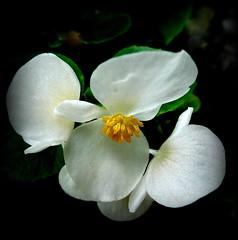 Roundelay (dimaruss34) Tags: newyork brooklyn dmitriyfomenko image flower begonia