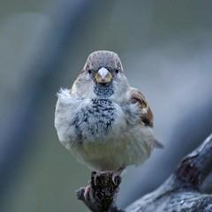 House Sparrow (mausgabe) Tags: olympus em1 olympusm40150mmf28 olympusmc14 nyc centralpark thepond sparrow male nonbreeding housesparrow