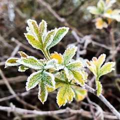 365.326 - Frost (AmyGStubbs) Tags: 2018 22nov18 365the2018edition 3652018 cold day326365 frost ice leaves iphone7