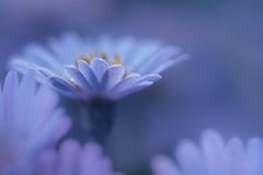 Blue Romance (christophe.laigle) Tags: bleu christophelaigle fleur macro drops nature flower fuji gouttes blue pluie xpro2 xf60mm light coth coth5