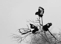 Magpie shrikes - Lebombo (Kruger NP ) - South Africa (lotusblancphotography) Tags: africa afrique southafrica nature wildlife faune animal bird oiseau magpieshrike monochrome blackwhite