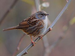 Passera scopaiola (lucamarasca1) Tags: appiano altoadige fauna wild passero bird birds uccelli birdwatching wildlife nikkor nikon passerascopaiola