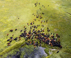 The cattle go straight for the watering hole in the new pasture (Lars Plougmann) Tags: drone aerial cattle pasture grassland southdakota ranch rockhillsranch lowry prairie selby unitedstates us dji0090 hdr