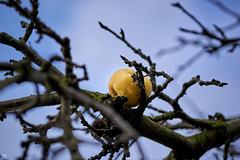 december gold (Aspenlaub (blattboldt)) Tags: apple apfel appletree apfelbaum december endoftheyear yellow gold nature boke shallowdof blue sky branches tree emount stilllife fruit colorcontrast maluspumila zeissloxia2485sonnart loxia2485sonnar specialthankstochristophecasenaveandhisteamfromzeissfortheirpersonalinvolvementinthedevelopmentoftheloxialensline sonyalpha7rmiii sonyilce7rm3 manualexposure manualirisring manualfocus wet rain drop ⚶ leftover remains laudātū wabisabi 侘寂 無常 loxia2485 carlzeiss sonyflickraward