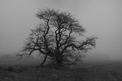 That Old Tree (Steffe) Tags: mist fog tree välsta sweden swedishwhitebeam oxel canon6d