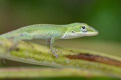 Green Lizard (billcoo) Tags: reptile gecko 6d2 6dii 2 bokeh nature