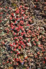 British soldiers lichen (primemundo) Tags: british soldiers lichen cladoniacristatella fruticoselichen britishsoldiers cladoniaceae fungi macro odc bunch