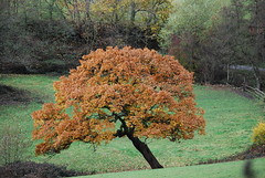 'Leaning' tree ...... (Halliwell_Michael ## Offline mostlyl ##) Tags: calderdale westyorkshire nikond40x 2018 autumn autumncolour brighouse hoveedge redbeckvalley trees landscapes