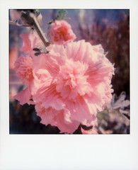 Pink Carnation (tobysx70) Tags: the impossible project tip polaroid sx70sonar sonar instant color film for sx70 type cameras impossaroid pink carnation scenic avenue beachwood canyon hollywood hills los angeles la california ca flower flora perennial plant petals dianthus bokeh toby hancock photography