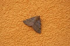 unidentified moth (douneika) Tags: moth falena farfalla