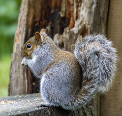 Squirrel (18) (Mal.Durbin Photography) Tags: wildlifephotography maldurbin naturephotography wildbirds forestfarm nature naturereserve