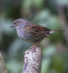 Dunnock (3) (Mal.Durbin Photography) Tags: wildlifephotography maldurbin naturephotography wildbirds forestfarm nature naturereserve