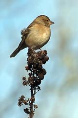 chaffinch (DODO 1959) Tags: wildlife chaffinch nature animal outdoor fauna finch female perch avian birds songbird olympus omdem1mk2 300mmf4 micro43 wwt llanelli carmarthenshire wales