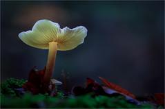 Yellow (epioxi) Tags: epioxi shroom mushroom mushroomlight fungi toadstool macrophotography macro autumn fall woodland leaves