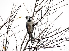 Blue Jay Among the Branches (Anne Ahearne) Tags: wild bird animal nature wildlife tree branches songbird birdwatching blue jay