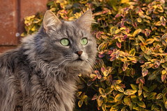 Surrounded by colours (FocusPocus Photography) Tags: fynn fynnegan kater katze cat chat gato tier animal haustier pet garten garden herbst autumn fall laub foliage