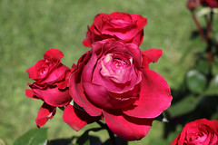 Maig_0259 (Joanbrebo) Tags: 17èconcursinternacionalderosesnovesdebarcelona park parque parc parccervantes barcelona garden jardí jardín flors flores flowers fiori fleur blumen blossom rose rosa canoneos80d eosd efs18135mmf3556is autofocus