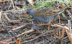 Water Rail (mikedenton19) Tags: rallus aquaticus rallusaquaticus water rail waterrail bird nature wildlife staveley reserve yorkshire trust ywt yorkshirewildlifetrust northyorkshire