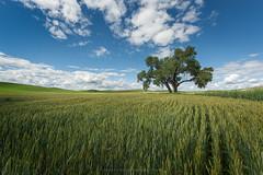 Dual (Bob Bowman Photography) Tags: grain tree wheat clouds palouse washington afternoon green tules cattails hills easternwashington landscape farmland crops