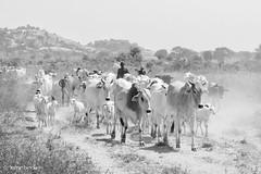 Fulani Cattle (Irene Becker) Tags: africa arewa fulanicattle imagesofnigeria kadunastate nigeria nigerianimages nigerianphotos northnigeria westafrica fulani northernnigeria
