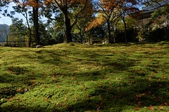 leaves and moss (ababhastopographer) Tags: kyoto takao jingoji momiji leaves autumn morning light ray acerpalmatum 京都 高雄 神護寺 秋 朝 落葉 苔