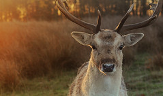 Buck at Sunrise (andy_AHG) Tags: wildlife autumn stag fallowdeerbuck antlers ruttingseason animals nikond300s yorkshire