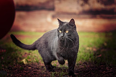 spuntarello (Pepenera) Tags: cat cats gatto gato gatti black blackbeauty portrait