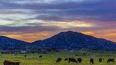 Happy Cows Enjoy the Epic Sunset In Ramona, California (slworking2) Tags: