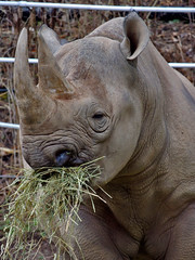 Dinner Time (George Neat) Tags: rhino rhinoceros animals wildlife pittsburgh zoo ppg aquarium creatures allegheny county pa pennsylvania georgeneat patriotportraits neatroadtrips