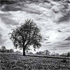 The leaves are going to leave... (Ody on the mount) Tags: abendlicht anlässe bäume em5ii himmel mzuiko2518 omd olympus pflanzen schwäbischealb solitär sonnenuntergang wanderung wolken bw monochrome sw sunset trees