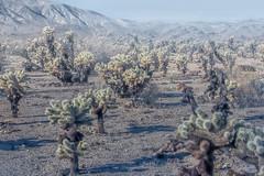 untitled (13 of 28).jpg (xen riggs) Tags: desert california joshuatreenationalpark february2018