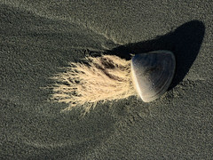 Not by the hair on my chinny-chin-chin! (Steve Taylor (Photography)) Tags: beardedclam brown grey sand newzealand nz southisland canterbury christchurch beach northnewbrighton shadow autumn sunny sunshine shell beard